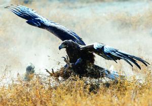 Kyrgyzstan Golden Eagle