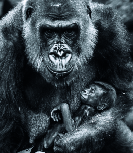 Australia Baby Gorilla